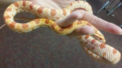 Our Corn Snake