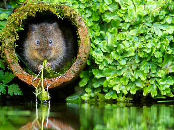 Water-vole_rev.png